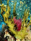 marineanimals27Fire-Coral-and-Table-Coral-Acropora-Valenciennesi-Posters.jpg