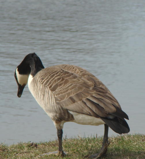 goose water cold.jpg