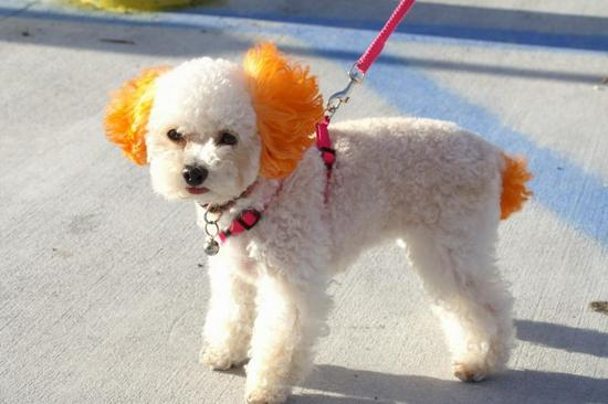 Poodle_Orange_Ears_Tail.jpg