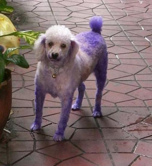 Poodle_Dyed_Purple.jpg