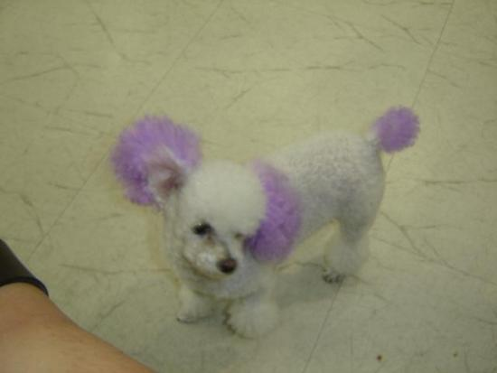 Poodle-Purple-Ears1.jpg