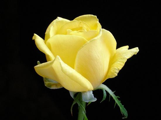 ROSEBEAUTIFUL YELLOW.jpg