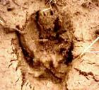 Paw Print from the Greenbelt