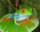 color frog