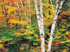Birch and Maples in the Fall