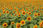 Field of Sunflowers.jpg