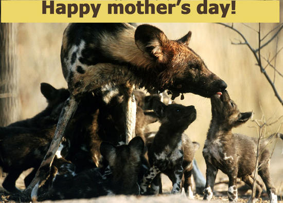 Happy mothers day wild dog and pups