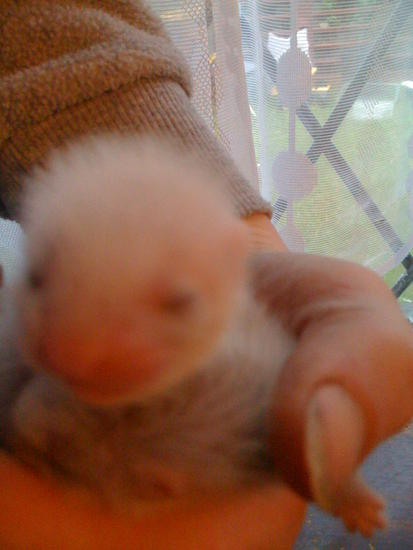 Two week old Baby Ferret Kits-BEAUTIFUL! 015.JPG