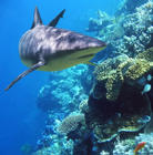 Carribean Reef Shark