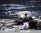 sea_otter_wallpaper_1280x1024.jpg