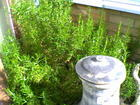 wildly growing rosemary
