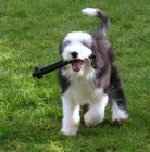 "Bearded Collie from ""Dreamstime"" Album.jpg"