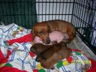 "Dachshund mum fostering a piglet named Pink, as her own! - from Webshots Album ""Animal Planet"".jpg"