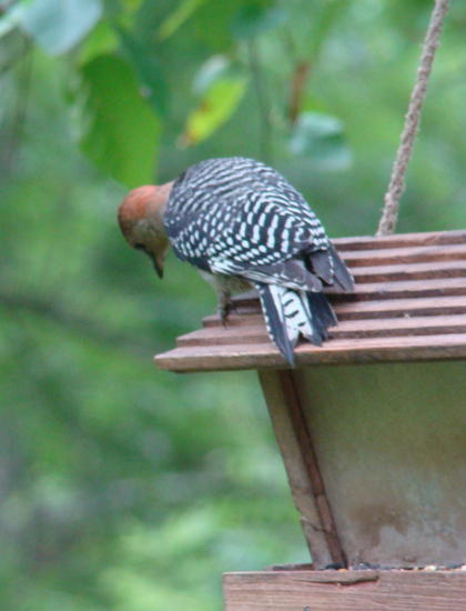 What__039_s down there woodpecker.jpg