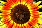 Sunflower 07-13-09