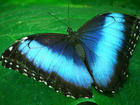 Water- Blue Butterfly