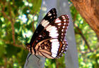 Red- Pink Butterfly