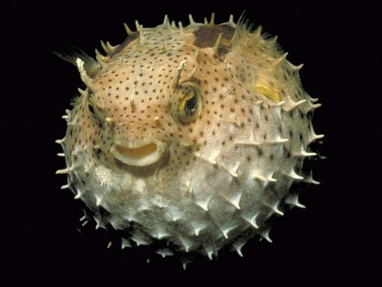Belize Pufferfish