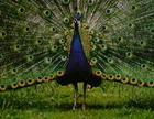 MALEPEACOCK-SHOWING OFF.JPG