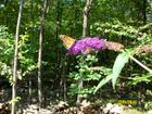 butterfly bush and monarch