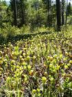 Darlingtonia Bog