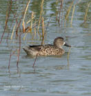 Blue-winged Teal - Female (Anas discors)