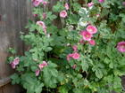 hollyhock album 2009_4.JPG