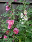 hollyhock album 2009_5.JPG
