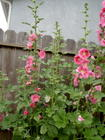 hollyhock album 2009_3.JPG
