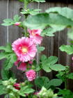 hollyhock album 2009.JPG