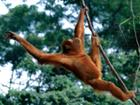 Hanging Out, Sumatran Orangutan