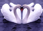 swan-animal-wallpaper.png