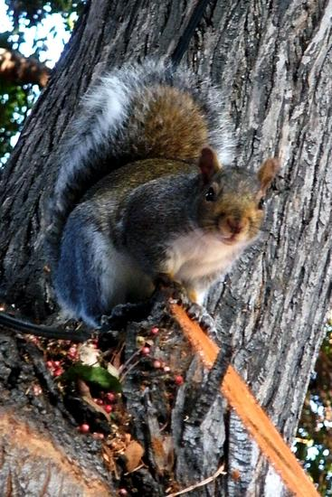 Squirrel 11-08-09