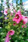 Bees in the hollyhocks