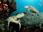 Reef Turtles