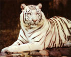ron-kimball-white-tiger-sitting.jpg