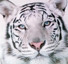attractions_white_tigers_close.jpg