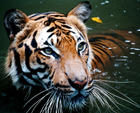 1259875154_tiger_in_the_water.jpg