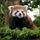 k-animals-red-panda_large.jpg