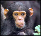 baby-chimpanzee-picture.jpg
