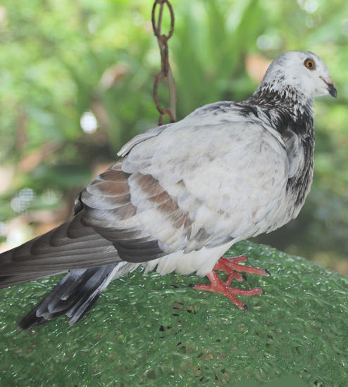 Willie the Pigeon
