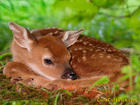 Baby deer sleeping