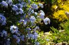Plumbago bush in flower