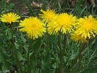 Noxious Weed to Poison Into Oblivion?
