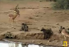 more... baboons and...