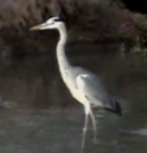 bird gets ready to wade in water