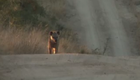 Hyena coming up the road