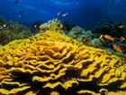 Yellow Lettuce Coral - Egypt