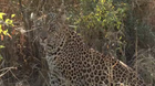 Leopard sits up and...