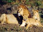 Male lion laying with cubs.jpg